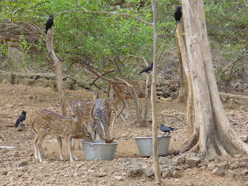 spotted deer chital in sanjay gandhi national park