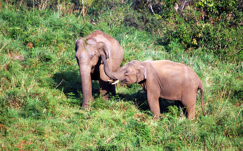 Elephants roaming through Gavi forests