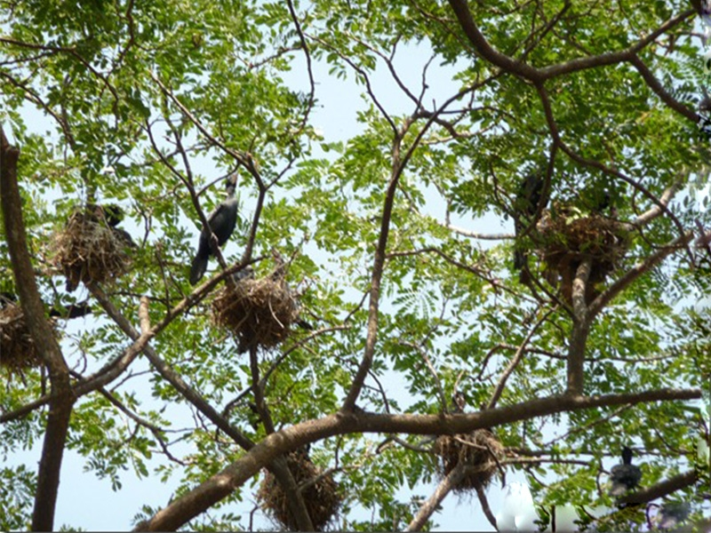 kumarakom-bird-sanctuary-nesting