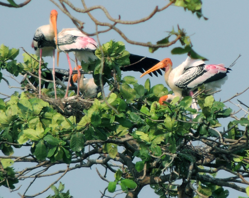 painted-stork-kumarakom-bird-sanctuary