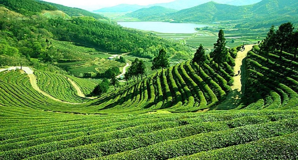 tea-gardens-darjeeling