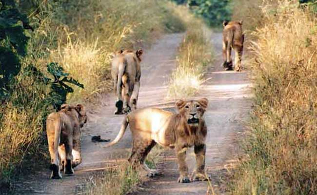 asiatic-lions-gir-wildlife-sanctuary
