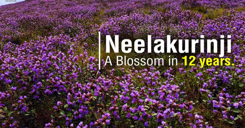 Neelakurinji bloom in Munnar